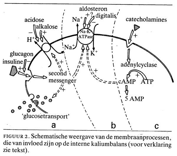 natrium kalium balans