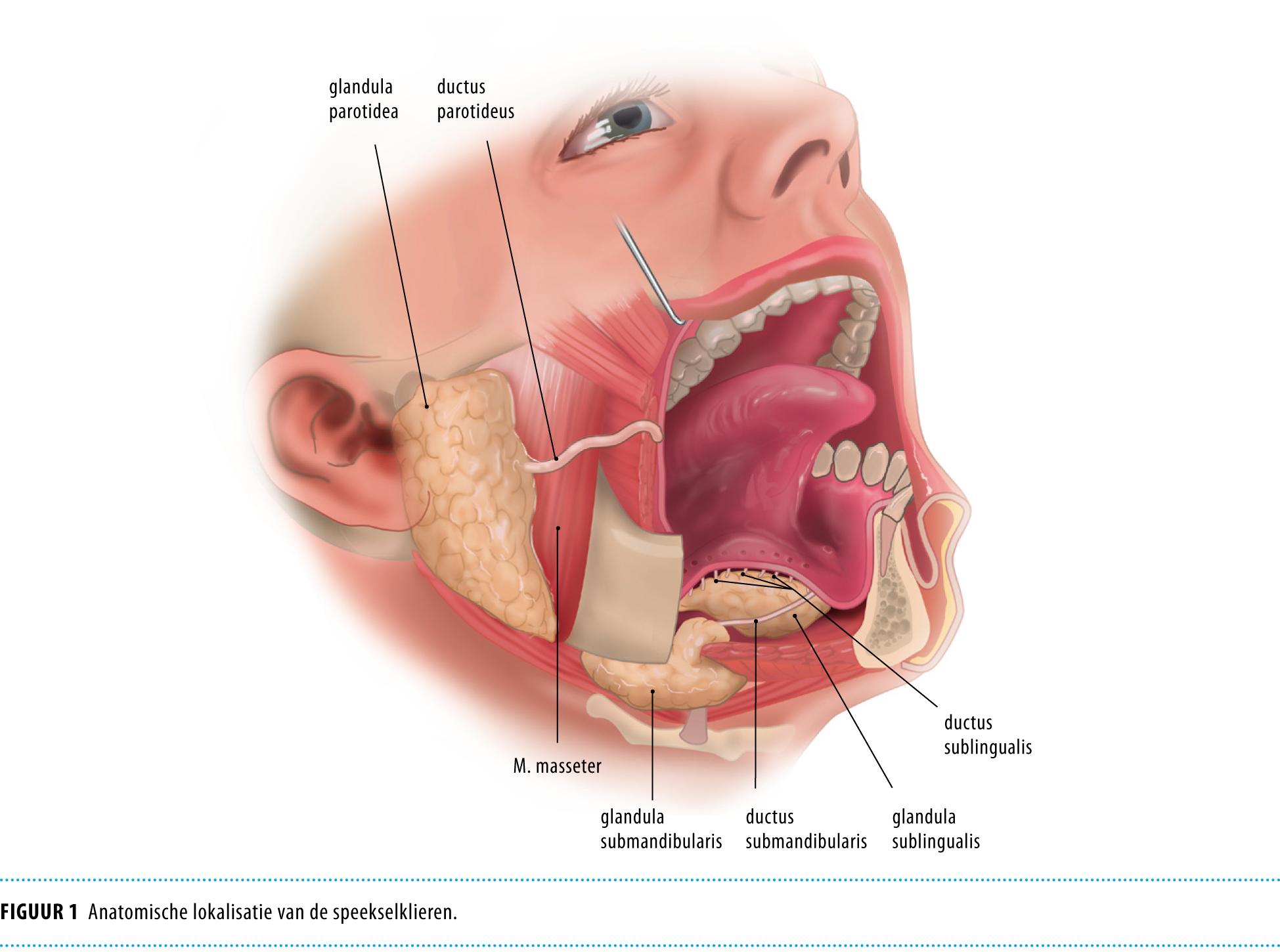 functie van de mond