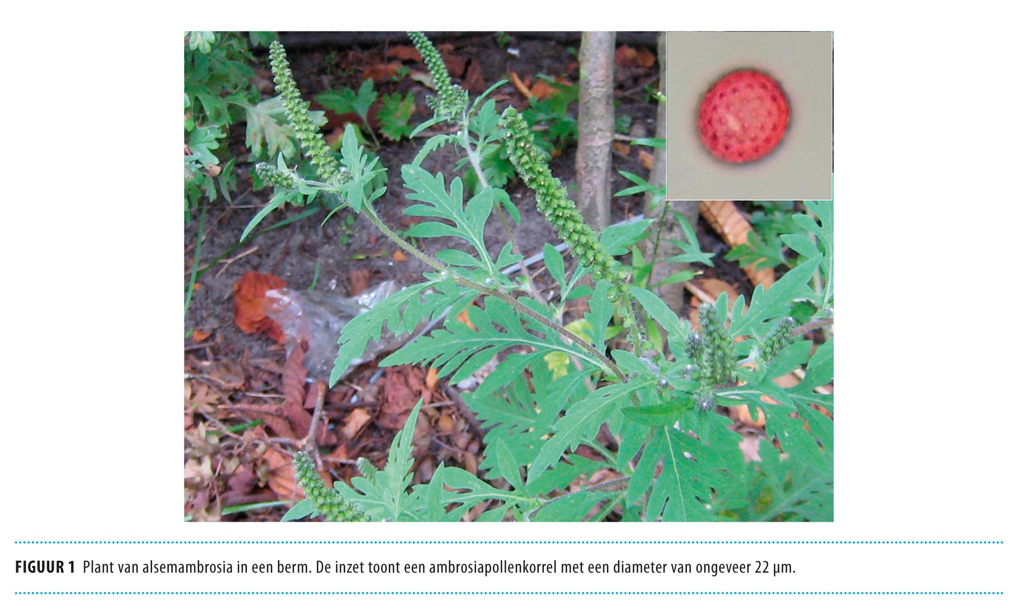 Allergie Planten Huid : Ambrosia in nederland nederlands tijdschrift voor geneeskunde